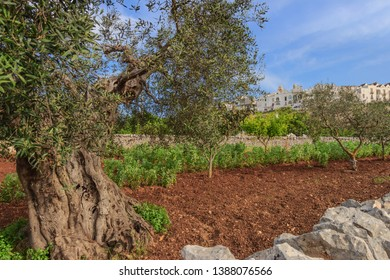Apulian countryside with olive tree. The most beautifull Old Towns in Italy: Locorotondo, laid on the top of a hill, has one of the most suggestive skylines of Apulia.
