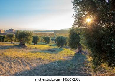 Apulian olive tree at sunset, Italy