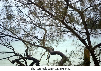 Aqua coloured water laps at beach. It is seen through the branches of a she-oak, which is covered wiht pine-shaped needles and small cones.