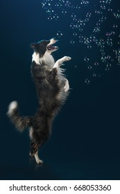 Aqua studio border collie on the dark background with bubbles