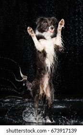 Aqua studio border collie on the dark background with rain
