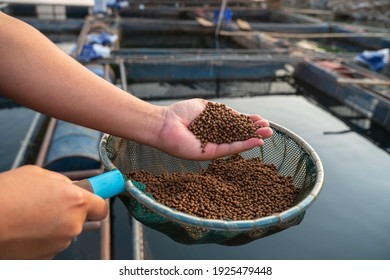 Aquaculture farmers hand hold food for feeding fish in pond in local agriculture farmland.Fish feed in a hand at fish farm