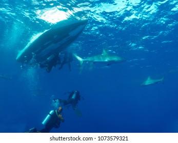 aqualungers and Caribbean reef sharks (Carcharhinus perezi) undersea cuba
