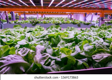 Aquaponics system combines fish aquaculture with hydroponics, cultivating lettuce plants in water under artificial lighting