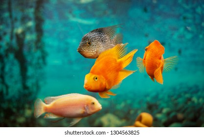 Aquarian fishes play. Pack of fishes communicate under water. Diving life in an aquarium. Several beautiful fishes.