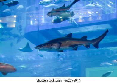 Aquarium at Dubai Mall, Dubai, United Arab Emirates on 6th June 2015