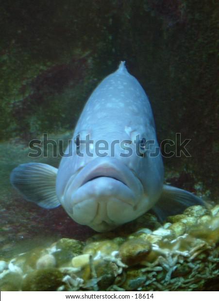 aquarium fat lipped sullen fish
