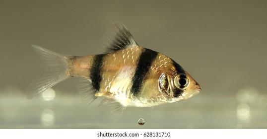 Aquarium fish, Barbus tetrazona