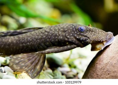 Aquarium Fish. Catfish Ancistrus Plecostomus