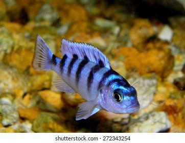 Aquarium fish from Cichlidae family.