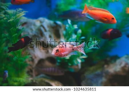 Aquarium Fish Cichlids Fish Family Cichlidae Stock Photo Edit Now