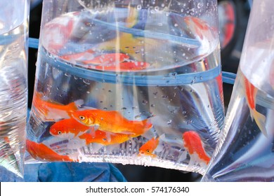 aquarium fish in a plastic bag with water for carrying