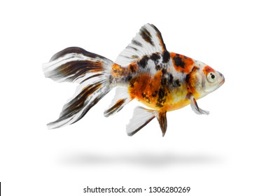 Aquarium fish with shadow isolated on white background. Colourful fishtank gold fish with clipping path