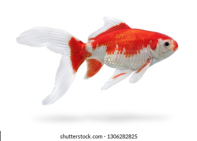 Aquarium fish with shadow isolated on white background. White and red fishtank gold fish with clipping path