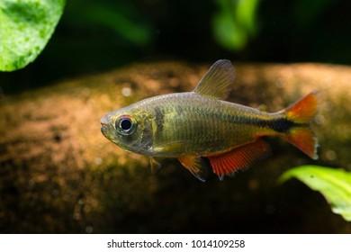 Aquarium fish tetra diamond.