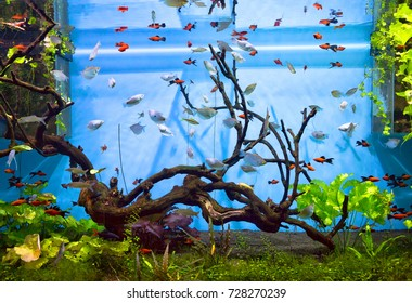 Aquarium fish.  Aquarium fish will delight you with its unforgettable beauty of the underwater world.