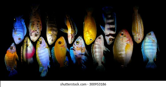 Lot of aquarium fishes from cichlidae family.