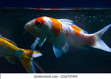 Aquarium Fish-Gold Fish Shubunkin