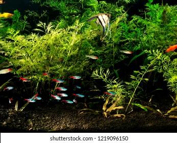 Aquarium freshwater neon