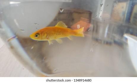 Aquarium Orange fish swimming on water