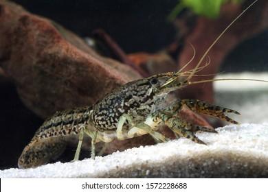 Aquarium pet marbled crayfish, Procambarus fallax forma virginalis in the pond