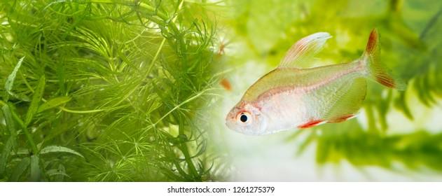 aquarium plant: elodea and Ceratophyllum demersum and fish