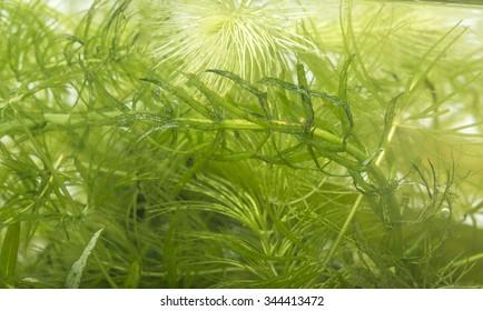aquarium plant: Elodea and Ceratophyllum demersum
