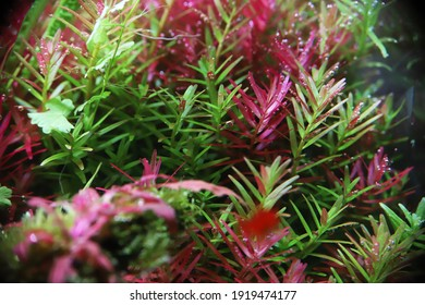 aquarium plant rotala indica  lush bright branches plants for natural aquarium red plants healthy fresh branches rotals - Shutterstock ID 1919474177
