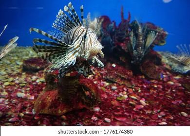 Aquarium. Striped lionfish. Pterois volitans