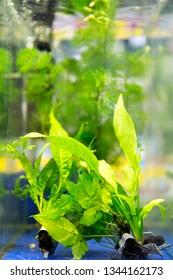 Aquatic algae echinodorus peruensis