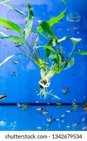 Aquatic algae echinodorus peruensis and tropical fish - sumatran barbus; neon fish