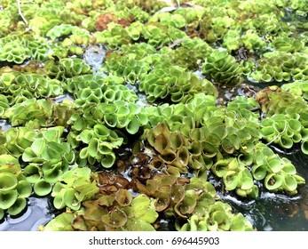 Aquatic Fern , Water fern , Salvinia