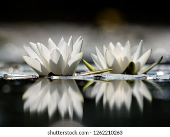 Aquatic flowering plant European white water lily, white water rose or white nenuphar flower (Nymphaea alba)