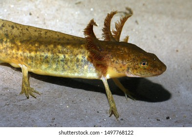 The aquatic larval stage of a tiger salamander (Ambystoma tigrinum). These salamander larvae reach large sizes before metamorphosis.  They have feathery external gills. They are voracious predators.