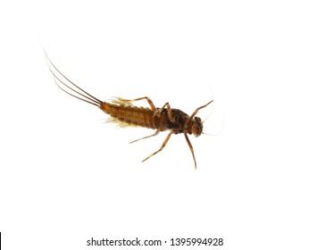 The aquatic nymph of a mayfly Ephemeroptera on white background