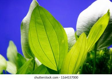 Aquatic Plant Leaf Closeup - Echinodorus argentinensis