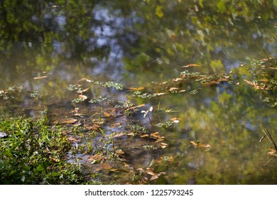 Aquatic Plants in Swamp Background
