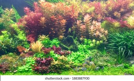 Aquatic plants tank. Beautiful aquarium with colorful aquatic plants in Dutch style aquascaping layout. Selective focus