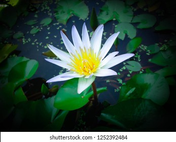 Aquatic plants White Tiny Lotus Flower Grows In The Mini Pond