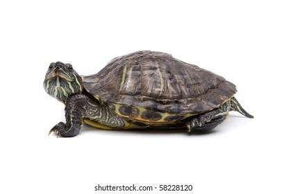 Aquatic turtle isolated on white