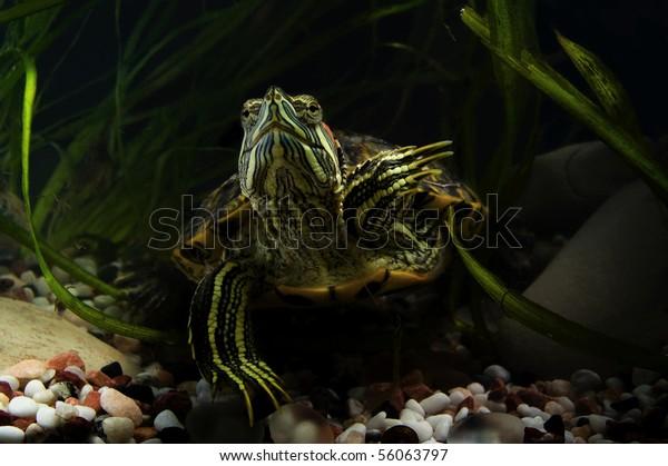 Aquatic Turtles Their Natural Habitat Stock Photo Edit Now