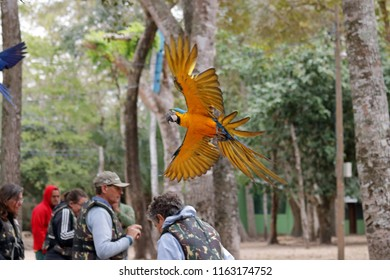 Aquidauana, Mato Grosso do Sul, Brazil - July 31, 2018: Blue and yellow macaw flying over a group of bird watchers