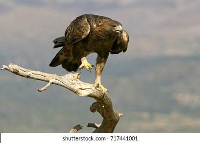 Aquila chrysaetos. Golden eagle.