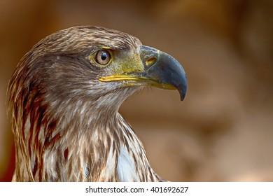 Aquila chrysaetos.Portrait of a golden eagle