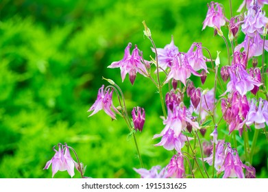 Aquilegia common names: grandmother's hood, catchment areas that are in meadows, woodlands, ana of great heights throughout the northern hemisphere, known for the spurs of their flower petals