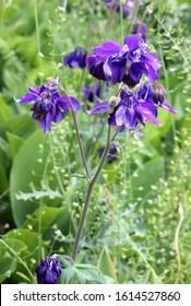 Aquilegia (common names: granny's bonnet, columbine).  Blue flowers of  european columbine on a natural background.