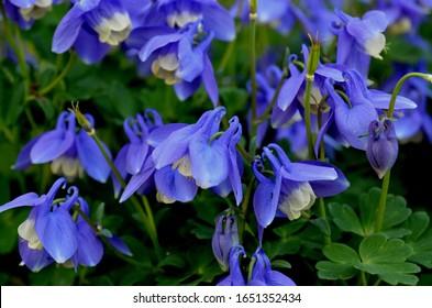 Aquilegia flabellata, common name fan columbine or dwarf columbine, is a species of flowering perennial plant in the genus Aquilegia (columbine), of the family Ranunculaceae.
