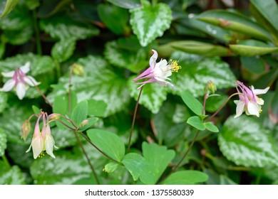Aquilegia flowers in spring