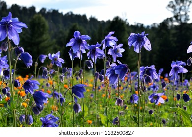 Aquilegia. The genus name Aquilegia is derived from the Latin word for eagle (aquila), because of the shape of the flower petals, which are said to resemble an eagle's claw.