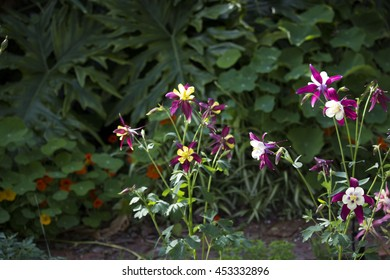 Aquilegia species  clump-forming perennials with fine-stemmed, often blue-green foliage that emerges from a woody rootstock with fragile blooms in spring also called columbines or granny bonnets.